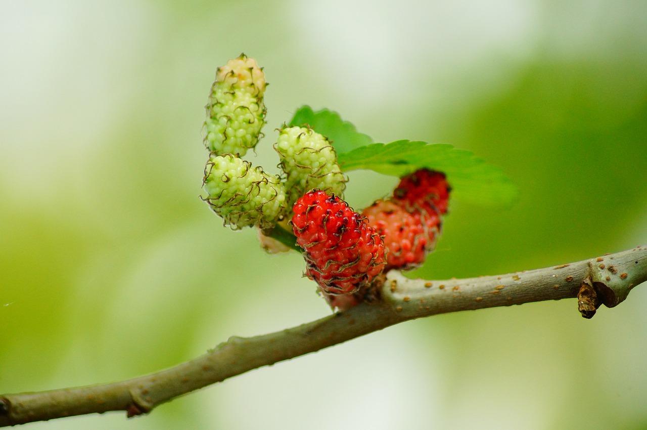mulberries-201787_1280